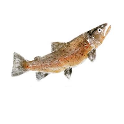 ADHESIVO GYOTAKU FISH TRUCHA